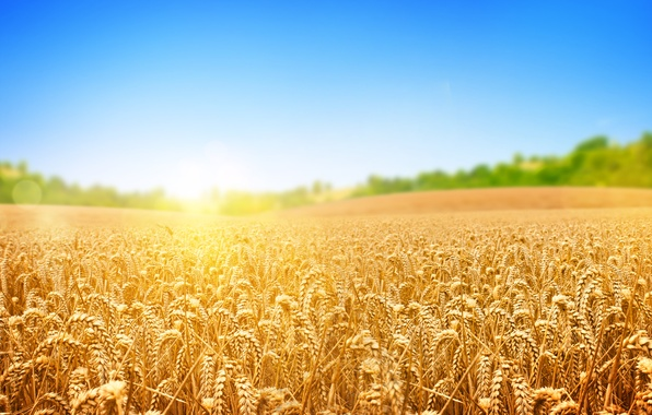 Picture wheat, field, trees, the sun's rays