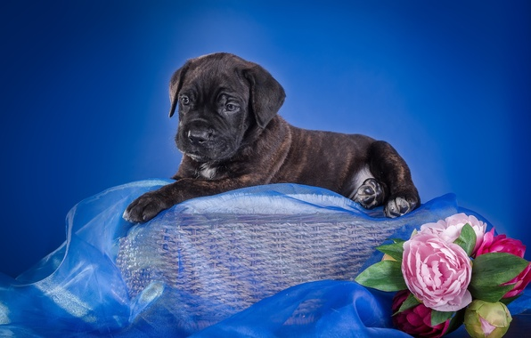 Picture flowers, basket, puppy, fabric, cane Corso