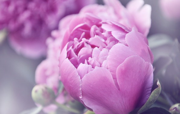 Picture summer, flowers, pink, peonies