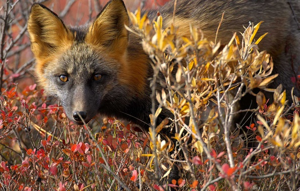 Picture nature, Canada, Fox, the red Fox