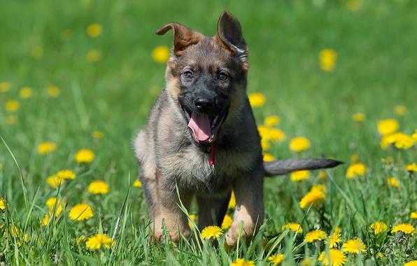 Picture joy, flowers, mood, dog, meadow, puppy, dandelions, German shepherd