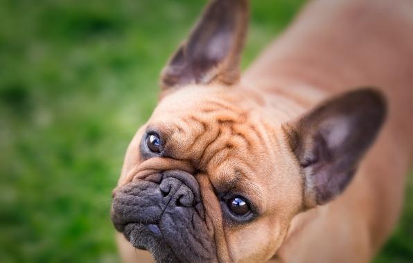 Picture look, face, dog, bulldog, French bulldog