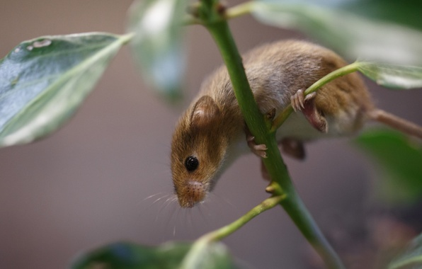 Picture leaves, plant, branch, mouse, vole