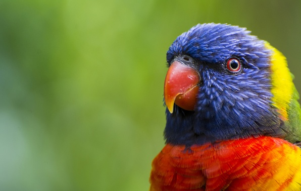 Picture greens, bird, head, feathers, beak, blur, parrot, color, colorful, multicolor lorikeet