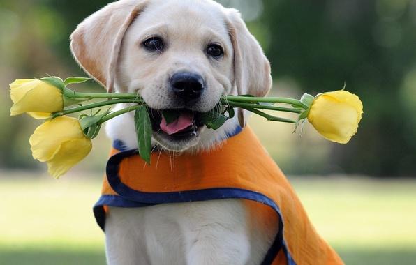 Picture flowers, roses, dog, puppy, Labrador, Retriever