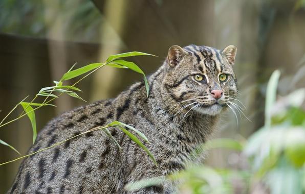 Picture cat, cat, ©Tambako The Jaguar, fishing cat, kot Rybolov, angler