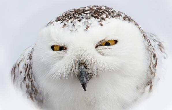 Picture face, owl, bird, white, polar