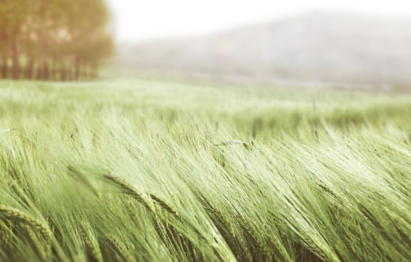 Picture wheat, field, summer, grass, nature, the wind, ears, green