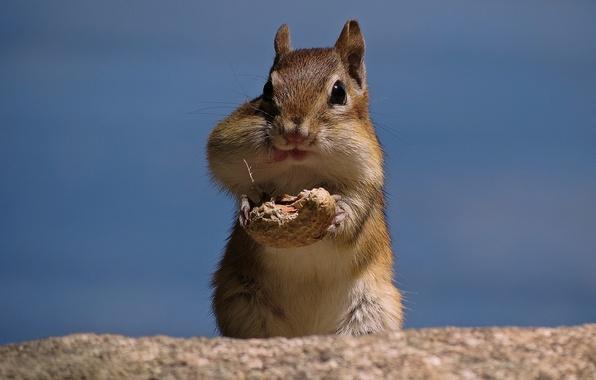Picture walnut, Chipmunk, peanuts