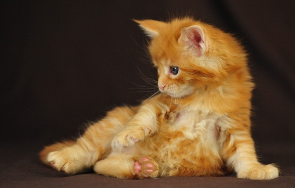 Picture kitty, red, sitting, Maine Coon