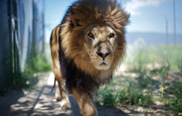 Picture animal, Leo, king, beast, looks, animal, is