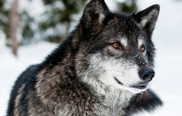 Picture winter, look, face, snow, nature, wolf, predator