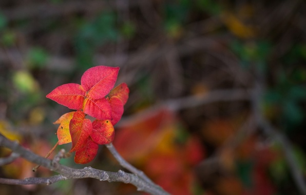 Picture leaves, macro, red, background, widescreen, Wallpaper, blur, branch, wallpaper, form, leaves, widescreen, background, full screen, …