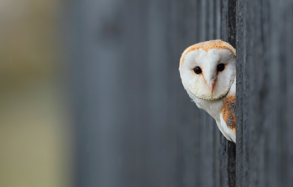 Picture background, owl, bird, white