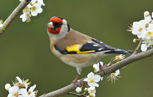 Picture flowers, nature, bird, branch, spring