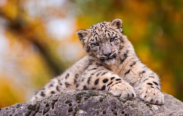 Picture stone, muzzle, lies, IRBIS, snow leopard, looks, sad