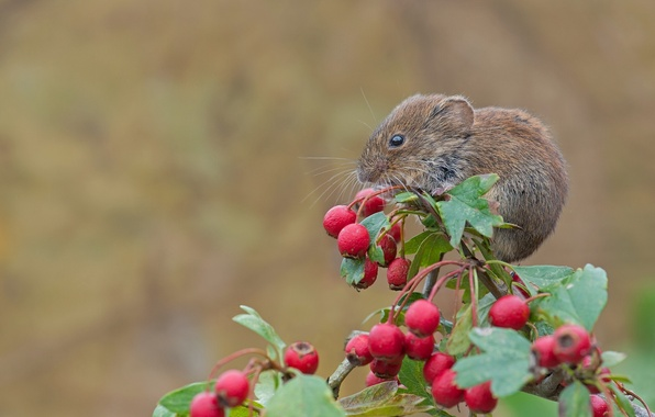 Picture macro, berries, branch, mouse, rodent, hawthorn, Bank vole