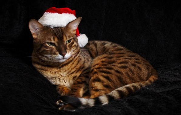 Picture cat, look, hat, color, Bengal cat