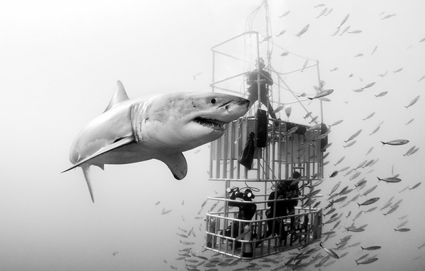 Picture sea, shark, divers