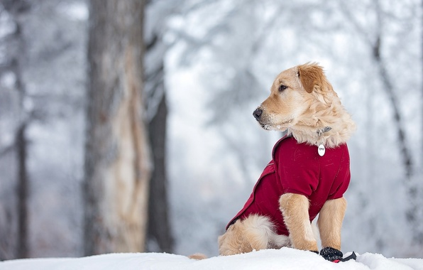 Picture winter, snow, dog, puppy, Golden Retriever, Golden Retriever