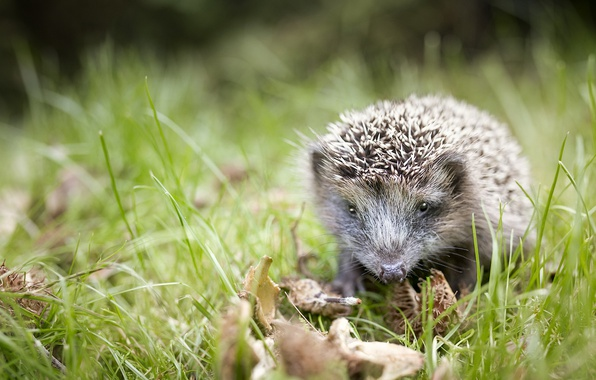 Picture summer, nature, hedgehog