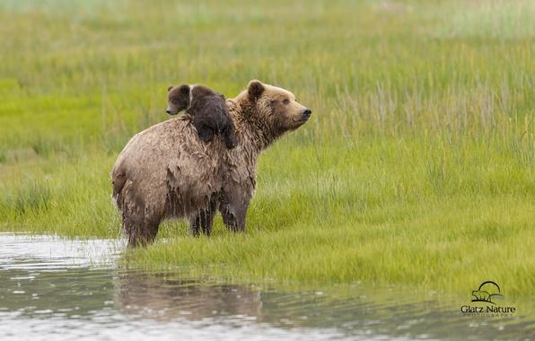 Picture water, bears, Alaska, meadow, bear, Alaska, bear, Lake Clark National Park