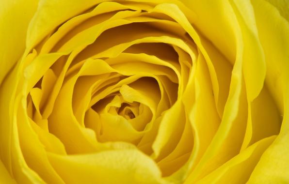 Photo wallpaper macro, petals, background, rose