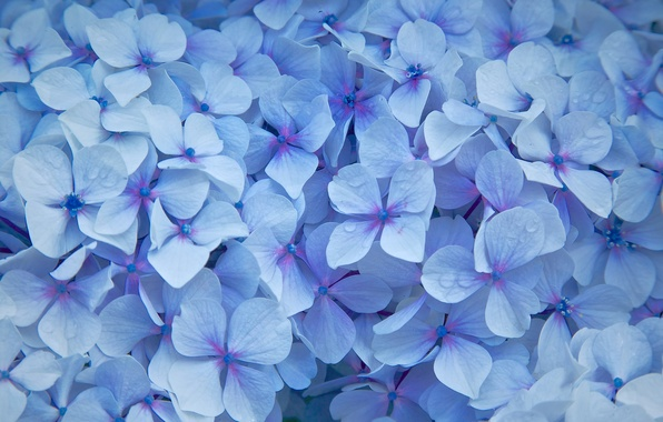 Picture flowers, droplets, petals, blue, Hydrangea