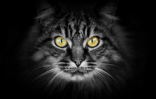Picture cat, look, background, Koshak, Tomcat, Kote