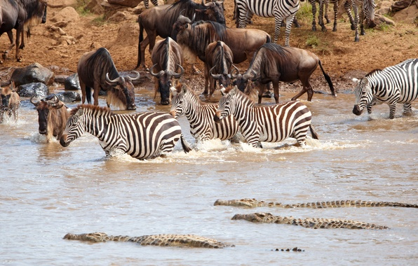 Picture crocodile, Africa, drink, pond, the herd, antelope, Zebra, GNU