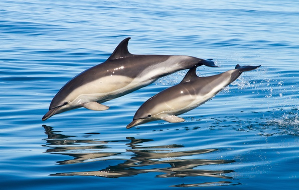 Picture sea, water, family, pair, dolphins
