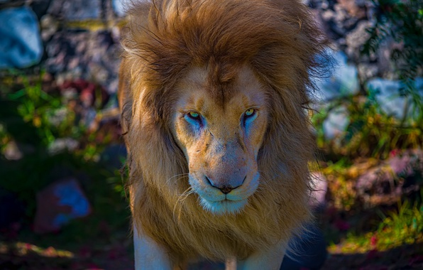 Picture look, face, Leo, mane, the king of beasts