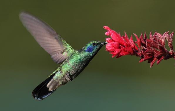 Picture flower, macro, bird, Hummingbird, bird, Hummingbird