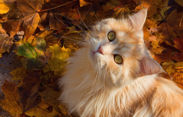 Picture autumn, cat, cat, mustache, look, leaves, muzzle, fluffy, red cat
