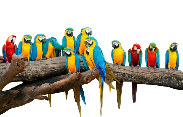 Picture birds, white background, parrots, colorful