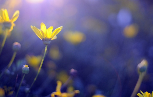 Picture flowers, blue, yellow, background, widescreen, Wallpaper, wallpaper, flowers, widescreen, background, bokeh, full screen, HD wallpapers, …
