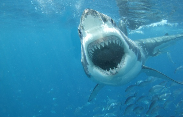 Picture white, sea, shark, great, jaws