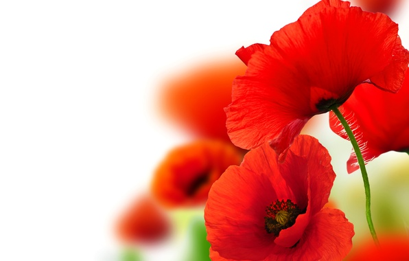 Picture macro, close-up, background, Maki, petals, red, bokeh