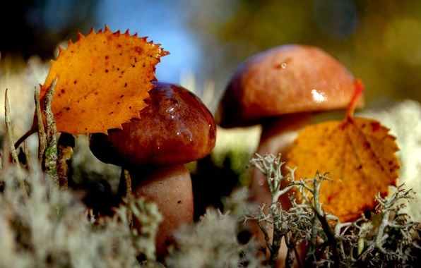 Picture autumn, leaves, nature, mushrooms, moss, Duo