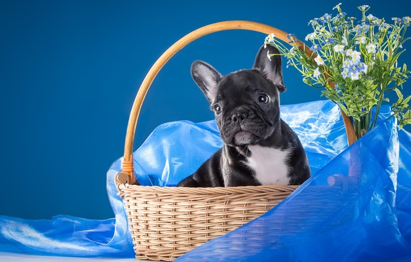Picture flowers, basket, puppy, fabric, forget-me-nots, doggie, French bulldog