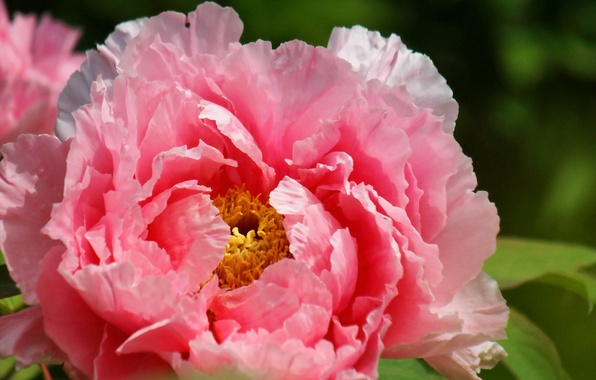 Picture flower, macro, nature, petals, peony