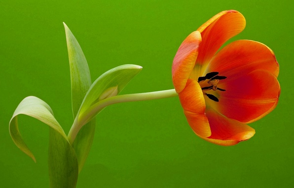 Picture macro, sheet, Tulip, petals, stem
