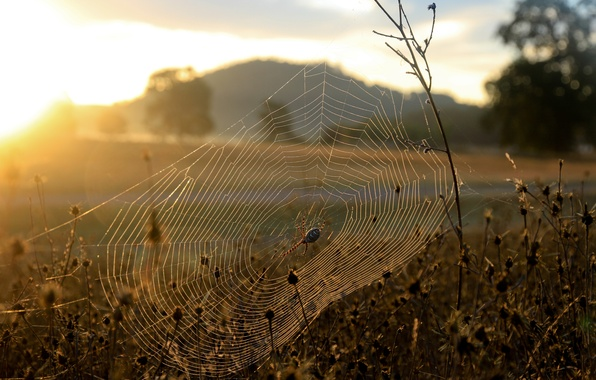 Picture grass, the sun, nature, dawn, plants, web, spider, morning, spider, Coyote Valley