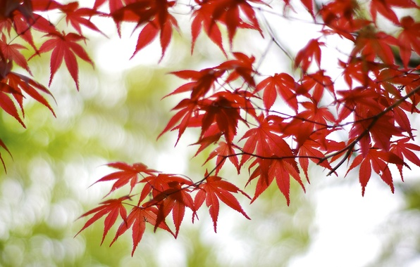 Picture leaves, branches, glare, tree, Japan, blur, red, maple, bokeh, Osaka