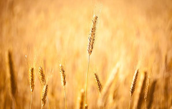 Picture wheat, field, autumn, grain, field, grain, focus, harvest, spikelets, ears, widescreen Wallpaper, corn fields, spike, …