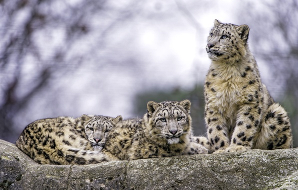 Picture predators, IRBIS, snow leopard, trio