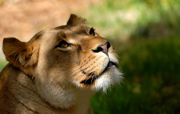 Picture mustache, look, face, background, Wallpaper, Leo, head, lioness