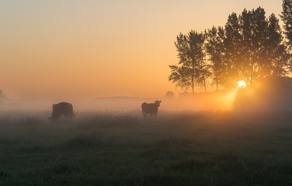Picture fog, morning, cows