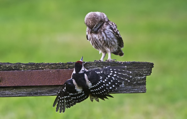 Picture birds, nature, background, owl, woodpecker, Board, Owl