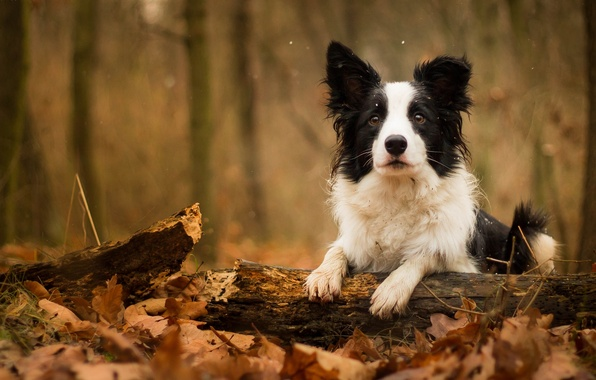 Picture autumn, leaves, dog, log